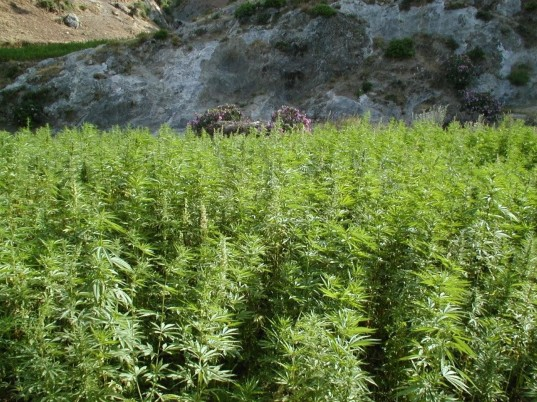 cannabis-un_champs_au_maroc