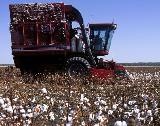 masedi farm - cotton