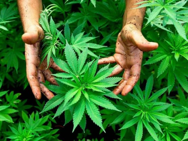 maroc-producteur-cannabis