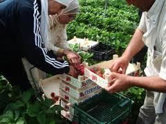 fraises huelva