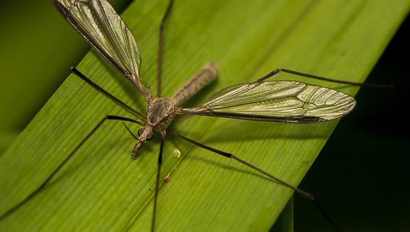 photo-moustique